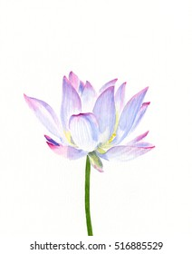 White Water Lily.  Watercolor illustration of a white water lily  on a stem isolated