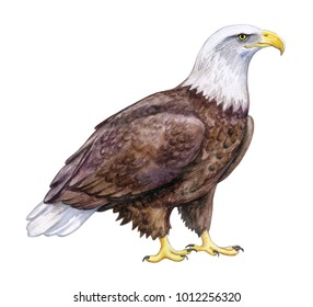 White-headed Eagle, Bald Eagle sitting. Isolated on white background. Illustration. Watercolor. Template Clip art.