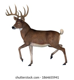 Whitetail Buck 3d illustration - The herbivorous White-tailed deer lives in North and South America and is an abundant species.