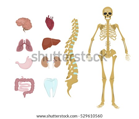 Whole Human Anatomy All Human Body Stock Illustration - Royalty Free ...