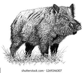 wild boar ink drawing