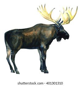 Wild Bull Moose, Eurasian Elk, Alces alces isolated, watercolor illustration
