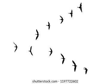 Wild duck flight in sky on white background