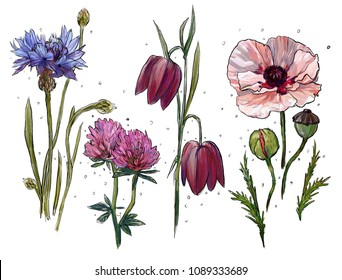 wild flowers, a set of wild flowers on a white background, cornflower, poppy, clover, bluebells. botanical illustration for decoration of cards, weddings, invitations. hand drawn illustration