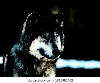 Wild furry black wolf illustration