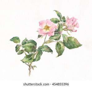 Wild rose hand painted watercolor.