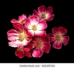 wild rose.isolated on black background. illustration, digital art.