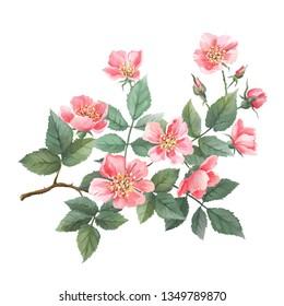 Wildrosen-Aquarell. Zweig mit Blumen, Blättern. Einzeln auf weißem Hintergrund