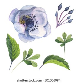 Wildflower anemone flower in a watercolor style isolated. Full name of the plant: anemone, nemorosa, ranunculus. Aquarelle wild flower for background, texture, wrapper pattern, frame or border.