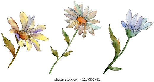 Wildflower daisy. Floral botanical flower. Wild spring leaf wildflower isolated. Aquarelle wildflower for background, texture, wrapper pattern, frame or border.