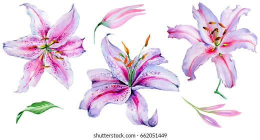 Wildflower lily flower in a watercolor style isolated. Aquarelle wild flower for background, texture, wrapper pattern, frame or border.