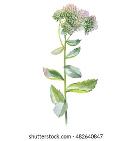 Wildflower Livelong in a watercolor style isolated. Full name of the herb: Orpine, Sedum, hylotelephium, livelong. Aquarelle flower could be used for background, texture, pattern, frame or border.
