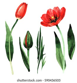Wildflower tulip flower in a watercolor style isolated. Full name of the plant: red tulip. Aquarelle wild flower for background, texture, wrapper pattern, frame or border.