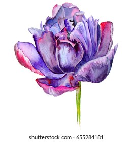 Wildflower tulip flower in a watercolor style isolated. Aquarelle wild flower for background, texture, wrapper pattern, frame or border.
