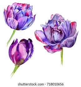Wildflower tulip flower in a watercolor style isolated. Full name of the plant: purple tulip. Aquarelle wild flower for background, texture, wrapper pattern, frame or border.