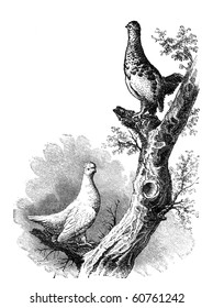 """Willow Grouse both winter and summer. Illustration originally published in Hesse-Wartegg's """"Nord Amerika"""", swedish edition published in 1880. The image is currently in public domain"""