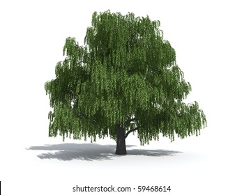 Willow trees isolated on white