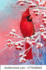 Winter Christmas background, red cardinal bird sits on snowy branches, berries, leaves in the snow, evening lighting.