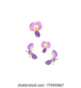 Wisteria flowers. Watercolor illustration on white background