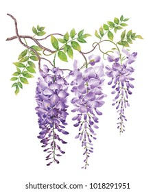 Wisteria with watercolor painting.Hand drawn on white background.Clipping path included. Illustration for various tasks such as greeting cards,love card. birthday cards, or different print jobs.