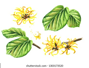 Witch hazel with leaves and flowers set, medicinal plant Hamamelis. Watercolor hand drawn illustration, isolated on white background