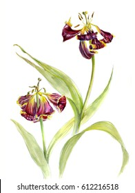 Withering tulips, watercolor sketch isolated