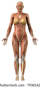 Woman muscular system