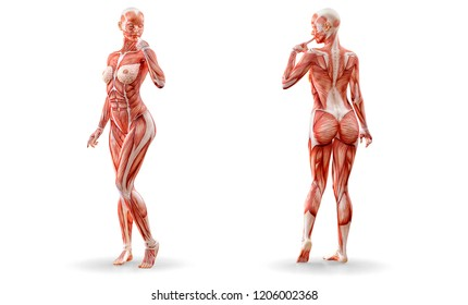 Woman musculature medical anatomy figure standing, isolated on white.  Healthcare, fitness, diet and sport concept. Clipping path included. 3D illustration