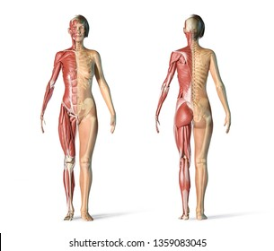 Woman skeletal and muscular systems, rear and front views. On white background. 3d rendering.