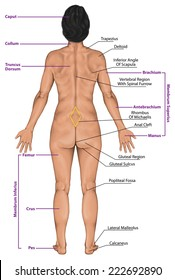 Woman, women, female anatomical body, surface anatomy, human body shapes, posterior view, parts of human body, general anatomy