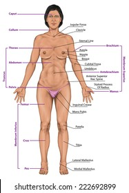 Woman, women, female anatomical body, surface anatomy, human body shapes, anterior view, parts of human body, general anatomy