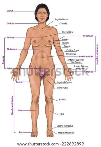 Woman Women Female Anatomical Body Surface Stockillustration ...