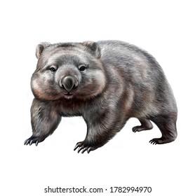wombat (Vombatidae), realistic drawing, illustration for Australia Animal Encyclopedia, isolated image on white background