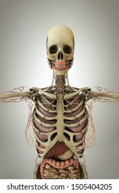 women anatomy model isolated on white background 3d illustration