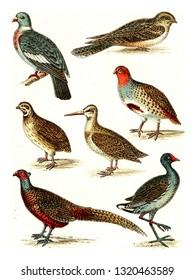 Wood pigeon, Nighthawk, Partridge, Quail, Snipe, Pheasant, Moorhen, vintage engraved illustration. From Deutch Birds of Europe Atlas.
