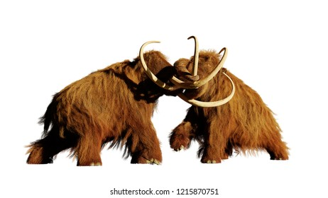 woolly mammoth bulls fighting, prehistoric ice age mammals isolated on white background (3d rendering)