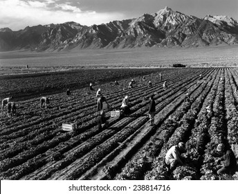 World War II, Bird's-eye view of Manzanar Relocation Center, showing farm workers in the fields, Mt. Williamson in background. California. photograph by Ansel Adams. 1943
