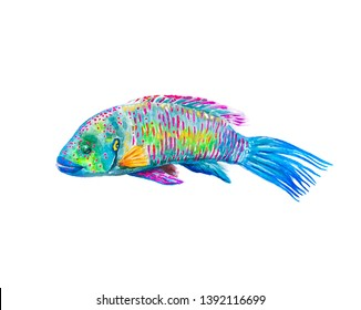 wrasse fish (heylin) watercolor painting isolated on white