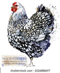 Wyandotte hen. Poultry farming. Chicken breeds series. domestic farm bird watercolor illustration.