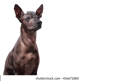 Xoloitzcuintle - hairless mexican dog breed portrait on a white background