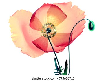 xray flower isolated on black, the poppy papaver, 3d illustration