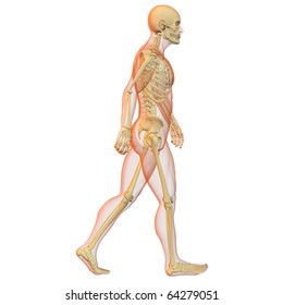 X-ray illustration of male human body and skeleton. 3D render. Walking pose. Side view.