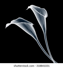 xray image of a calla flower isolated on black with clipping path