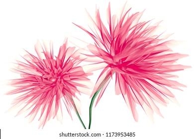 x-ray image of a flower  isolated on white, the Dahlia 3d illustration