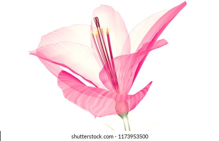 x-ray image of a flower  isolated on white, the Ameryllis 3d illustration