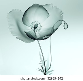 xray image of a flower  isolated on black , the poppy