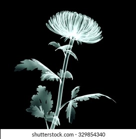 xray image of a flower  isolated on black , the Pompon Chrysanthemum