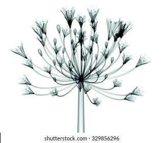 xray image of a flower isolated on white, the Bell Agapanthus