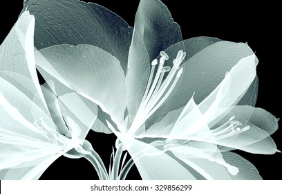 xray image of a flower  isolated on black , the Amaryllis