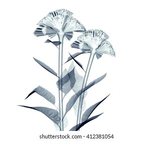 x-ray image of a flower  isolated on white, the coxcomb  3d illustration